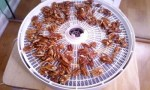 candy pecans dehydrator